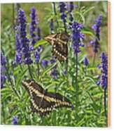 Giant Swallowtail Butterfly Couple Wood Print