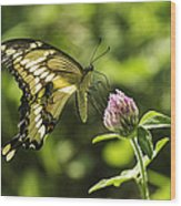 Giant Swallowtail On Clover 2 Wood Print