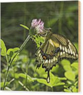 Giant Swallowtail On Clover 3 Wood Print