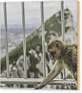 Gibraltar Monkey Wood Print by Stefano Piccini