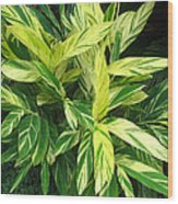 Ginger Lily. Alpinia Zerumbet Wood Print