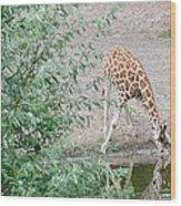 Giraffe Drinking Wood Print