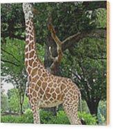 Giraffe Eats-09053 Wood Print