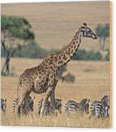 Giraffe Giraffa Camelopardalis Wood Print