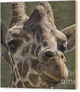 Giraffe Hey Are You Looking At Me Wood Print