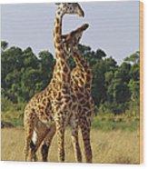 Giraffe Males Sparring Masai Mara Kenya Wood Print