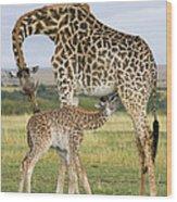 Giraffe Nuzzling Her Nursing Calf Wood Print