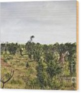 Giraffe Panorama Wood Print