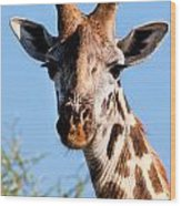 Giraffe Portrait Close-up. Safari In Serengeti. Wood Print