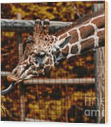 Giraffe Showing His 20 Inch Tongue Wood Print