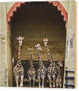 Giraffes Lineup Wood Print