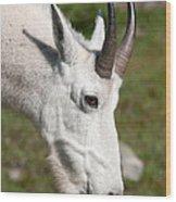 Glacier Goat Wood Print