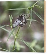 Glass-wing Butterfly Wood Print