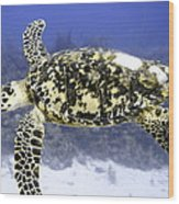 Gliding Sea Turtle Wood Print