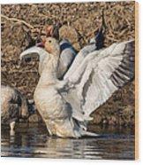 Glorious Snow Goose Wood Print