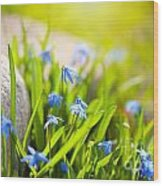 Scilla Siberica Flowerets Named Wood Squill  Wood Print