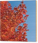 Glowing Fall Maple Colors 1 Wood Print