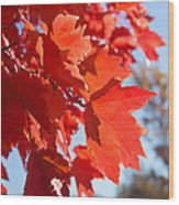Glowing Fall Maple Colors 4 Wood Print