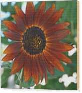 Glowing Red Sunflower Wood Print