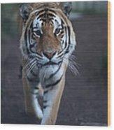 Go Get 'em Tiger Wood Print by Brenda Schwartz