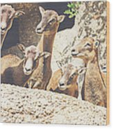 Goats On A Rock Wood Print