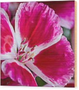 Godetia Pink And White Flower Wood Print