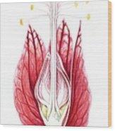 Goethea Strictiflora Flower Wood Print