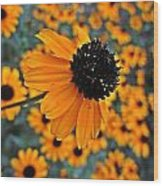 Gold Rudbeckia Blooms Wood Print