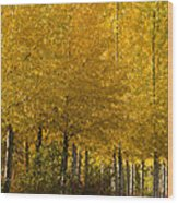 Golden Aspens Wood Print by Don Schwartz
