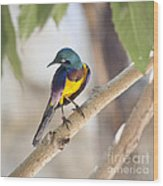 Golden-breasted Starling Wood Print