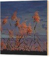 Golden Common Reeds Wood Print
