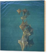 Golden Cownose Rays Schooling Galapagos Wood Print