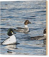 Golden-eyed Ducks Wood Print