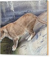 Golden Fur Lioness Wood Print