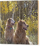 Golden Goldens - Golden Retriever Brothers - Casper Mountain - Casper Wyoming Wood Print