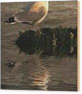 Golden Gull Wood Print