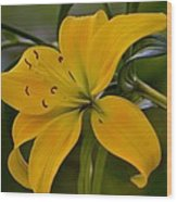 Golden Lily Sway 2013 Wood Print