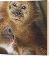 Golden Lion Tamarin Mother And Baby Wood Print