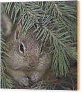 Golden Mantled Ground Squirrel    Callospermophilus Lateralis Wood Print