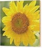 Golden Moment - Sunflower Wood Print
