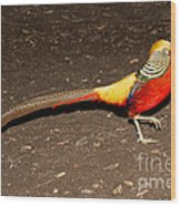 Golden Pheasant Male Wood Print