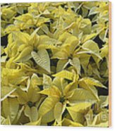 Golden Poinsettias Wood Print