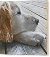 Golden Retriever Dog Waiting Wood Print