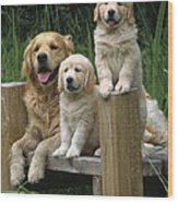 Golden Retriever Dog With Puppies Wood Print