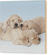 Golden Retriever Puppies Asleep Wood Print