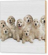 Golden Retriever Puppies, In A Line Wood Print