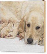 Golden Retriever Puppies Suckling Wood Print