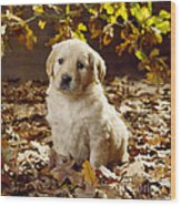 Golden Retriever Puppy Dog In Fallen Wood Print