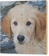Golden Retriever Puppy  Wood Print