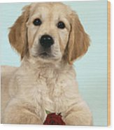 Golden Retriever Puppy With Rose Wood Print